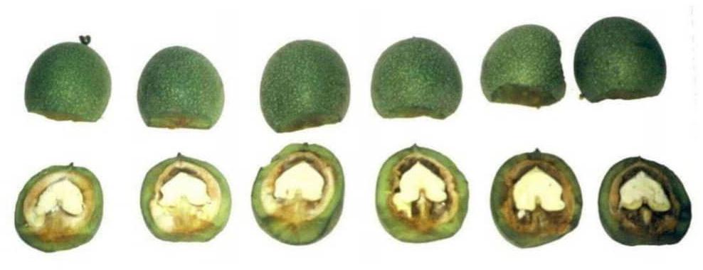 Зрелость грецкого ореха. Орех в разрезе